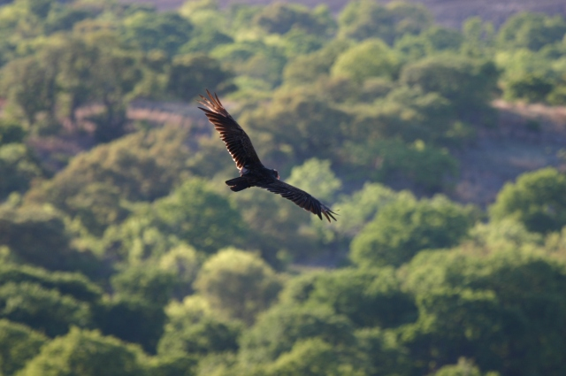 Aerial_View_of_Flying_Eagle_over_Green_Forested_Land:bing:commons.wikimedia.org